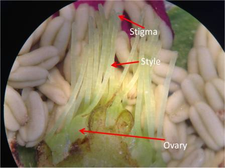 Pollen lands and gets stuck on the sticky stigma. It then grows a pollen tube down from the pollen grain, through the style, and down to the ovary. The sperm travels down the style within the pollen tube until it reaches the ovary, where it fertilizes the egg.
