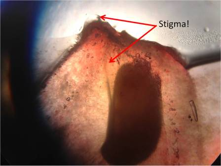 Here's another view of the stigma; see how it leads into the seed?