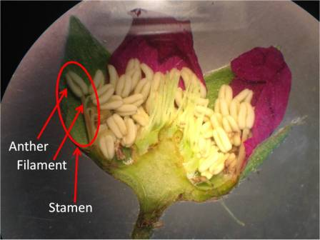Just like animals, in order for plants to reproduce sperm from one parent must meet an egg from another. In flowers, sperm is contained in pollen grains, which are found on the anthers. Anthers rest on stalks called filaments; together, anthers and filaments are called stamens.